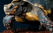 Этот вид черепах с красными ногами может длительное время обходиться без еды. Фото: Alamy